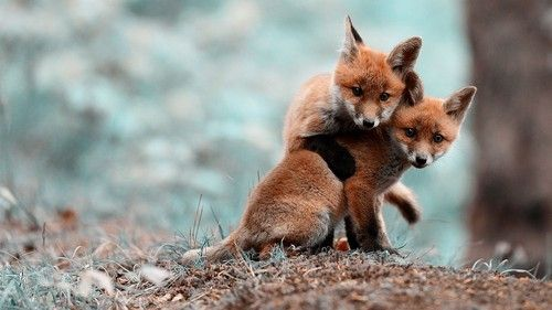 playful foxes