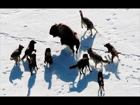 Animals wildlife habitat of north Canada full documentary 2017