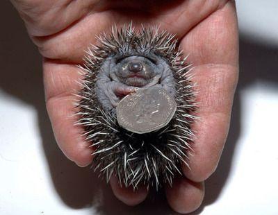 rich hedgehog