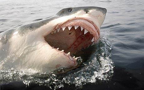 Great White Shark with mouth open at surface of water. Teeth showing: Great white sharks 'as endangered as tigers'