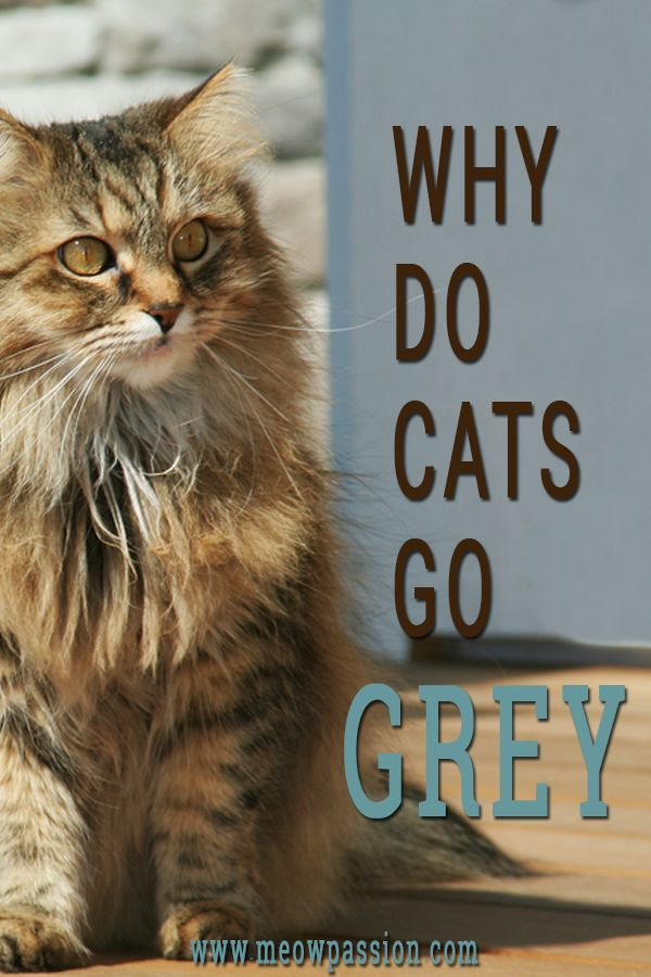 What Causes A Cat Fur To Turn Grey Meowpassion Cats Cat Care Tips Cat Health