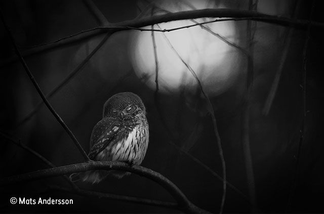 Wildlife photographer of the year 2016 requiem for an owl mats andersson