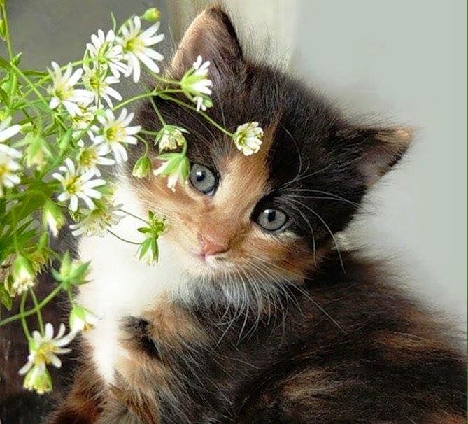 .calico kitty.
