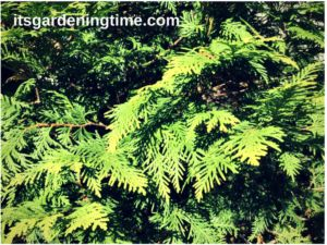 6 Reasons to Grow Golden Globe Arborvitae! One of our most engaging evergreens has golden-tinged leaves and layers of ... #garden #gardening #evergreen #evergreens #gardens #gardendc #gardenchat #gardeninspiration #gardeningtips #gardeningtipsforbeginners #landscape #landscaping #gardener #gardeners #lanscaper #landscapers