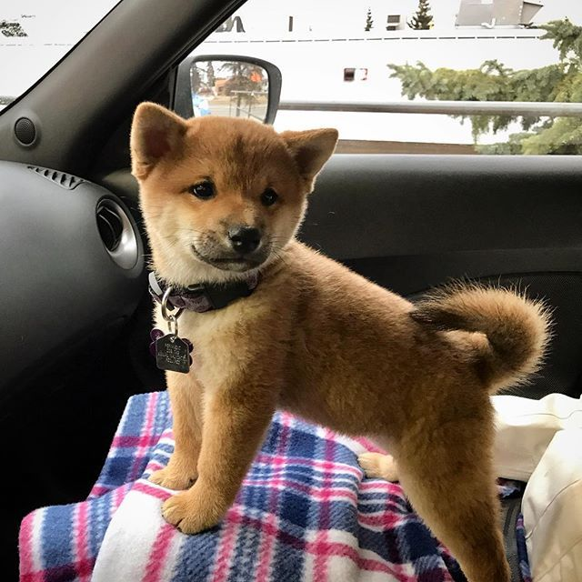 how to get a shiba inu in dogz