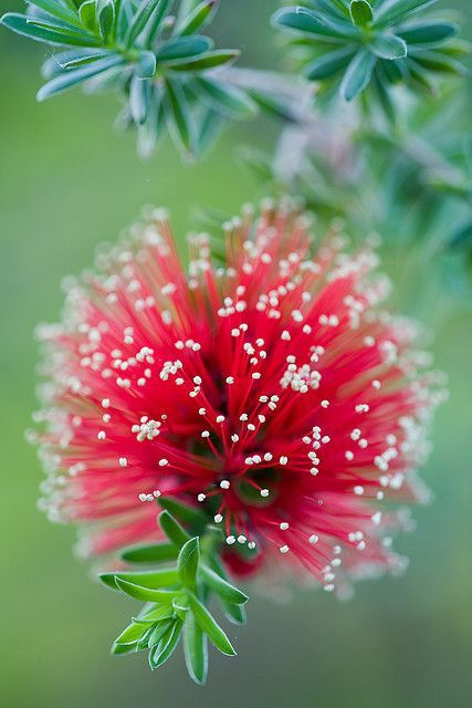 Stunning Red and white Australian native plant Bottlebrush (Kunzea baxteri) Scarlet Kunzea
