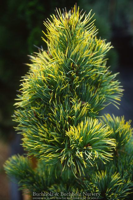 Pinus parviflora ' Goldilocks ' Variegated Dwarf Japanese White Pine. Great coloring and size on this dwarf evergreen conifer. Twisted needles with bright golden tips with some of the plant having blu