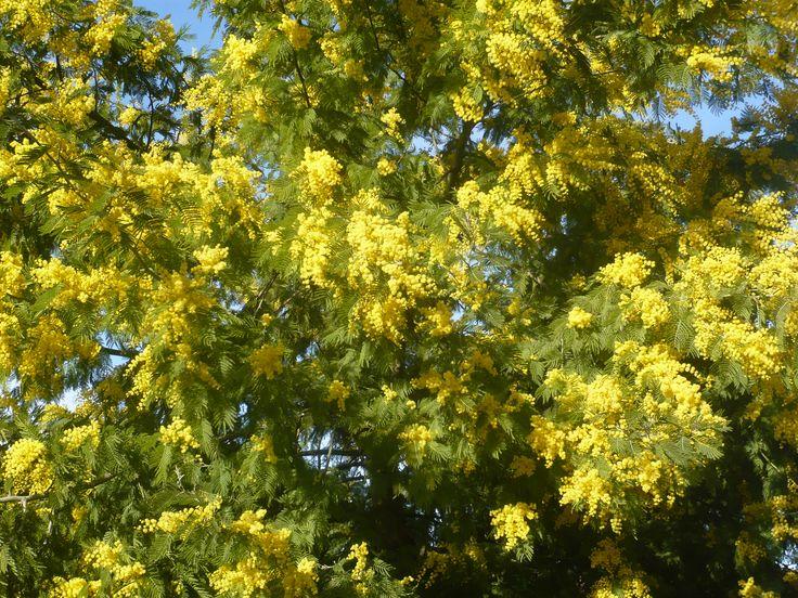 Mimosa (Acacia dealbata) – Biodiv Montech - 02.2017