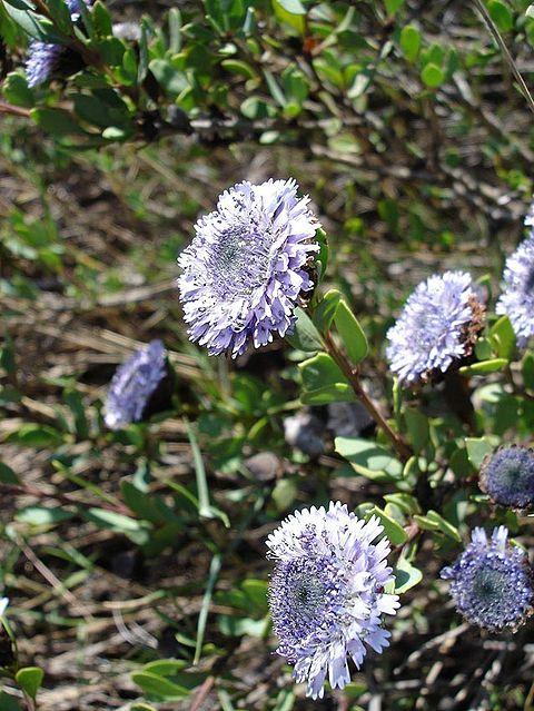 Globularia alypum - Zocollada; Socollá - Coronilla de fraile
