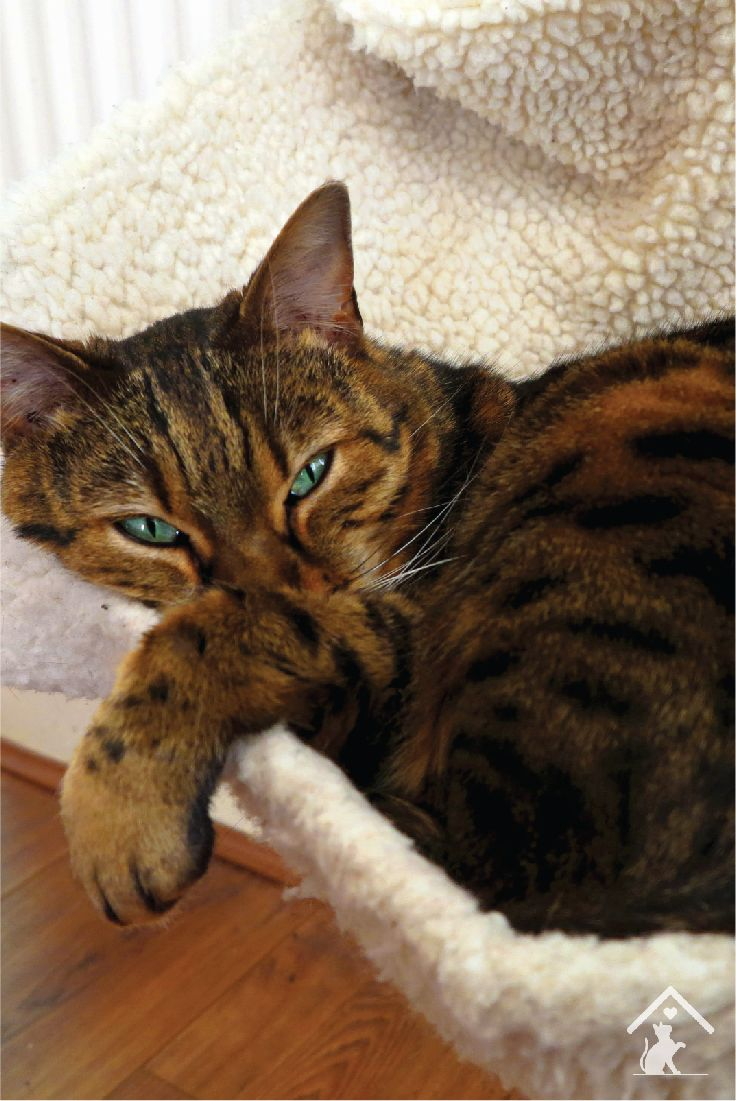 Bengal cats have beautiful green eyes and a rosette patterned coat. Click the pin to learn more!
