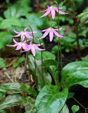 Pink Fawn Lily Habitat: Forests fringes and openings from low to high elevation Bloom time: Early to mid spring depending on elevation  Range: Southern British Columbia to northwestern California Notes: Works well in western Washington gardens.