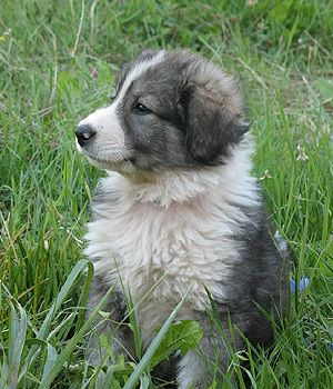Carpathian Sheepdog breed info,Pictures,Characteristics,Hypoallergenic:No