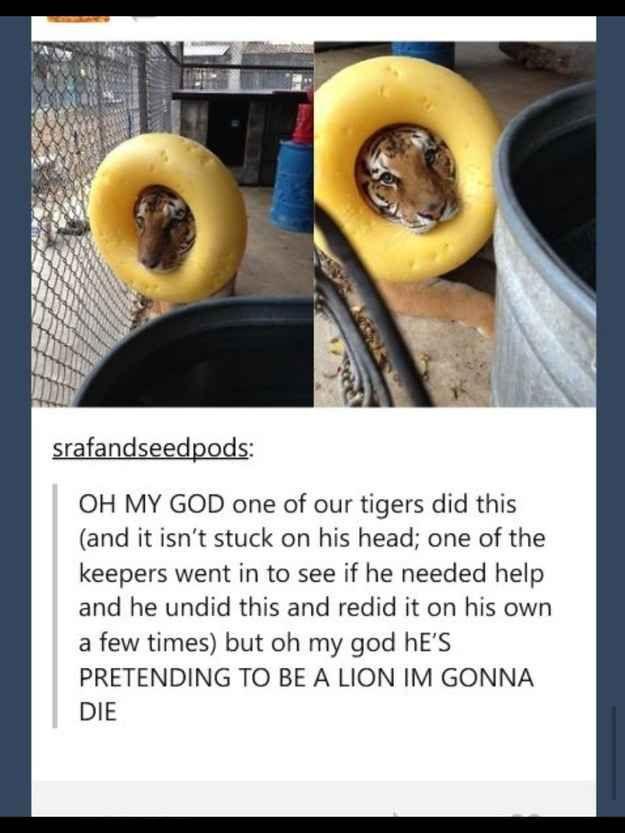 This tiger with big dreams.