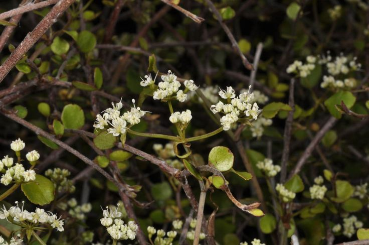 Scandia geniculata - Scandia
