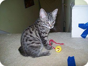 Bengal Cats For Sale Tampa Florida