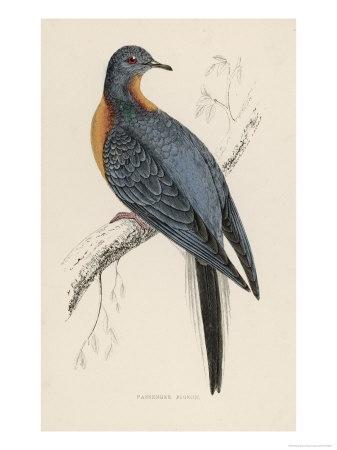 Passenger Pigeon Giclee Print