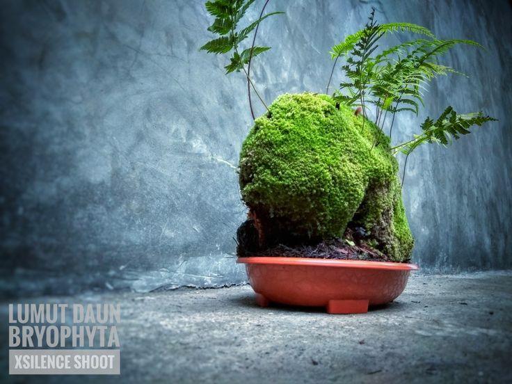 Jungle Moss (lumut hutan)