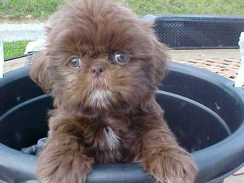 shih tzu puppy green eyes liver...looks like a baby ewok! I WANT one!!