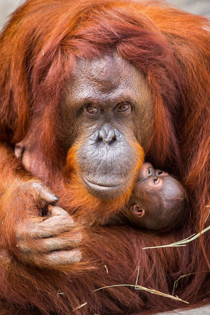 Tampa's Lowry Park Zoo started the new year with the birth of a rare Bornean Orangutan. The endangered, female primate was born in the early morning of January 6 to experienced mother Dee Dee, weighing in at an estimated three pounds.