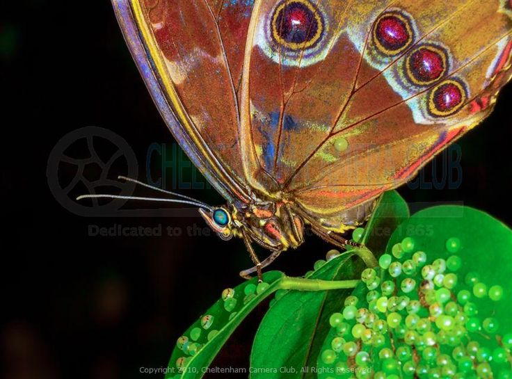 1000+ images about Blue Morpho Butterfly on Pinterest | History museum ...