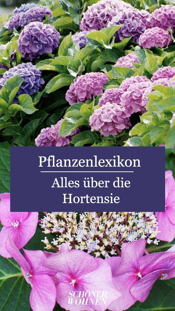 Hortensien Pflanzen Pflegen Vermehren In 2020 Pflanzen Hortensien Balkon Pflanzen
