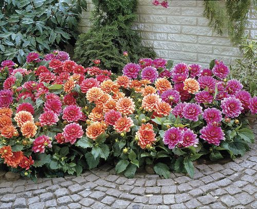 flower border ideas pictures - Border Dahlia Blend Veseys Landscaping