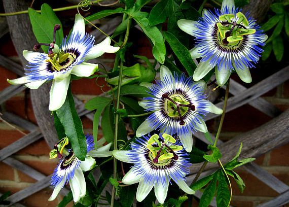 Passiflora Caerulea Is The Classic Passionflower With A 3 Creamy Blossom With Blue Fringe Stripes Flowering Vine Plants Flowering Vines Passiflora Caerulea
