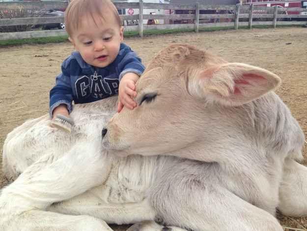 Ce veau qui se laisse coiffer par son humain. | 31 photos de bébés animaux pour vous rappeler que le monde est merveilleux