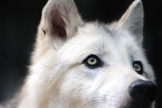 #wolf #photo