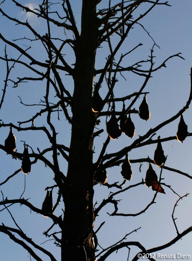 BatSleep Daytime, Daytime Bats, Animal Kingdom, Scary Things, Creepy Creatures, Beautiful Bats, Bats Animal, Batty, Nature Law