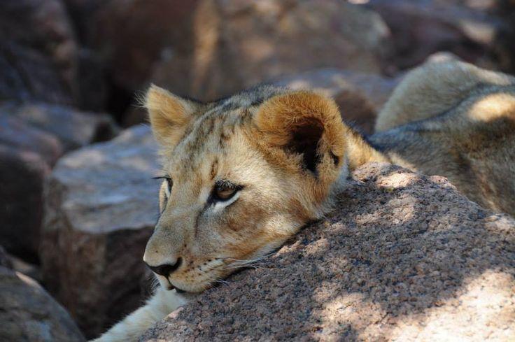 Africa Volunteer Adventures Lion Breeding Project