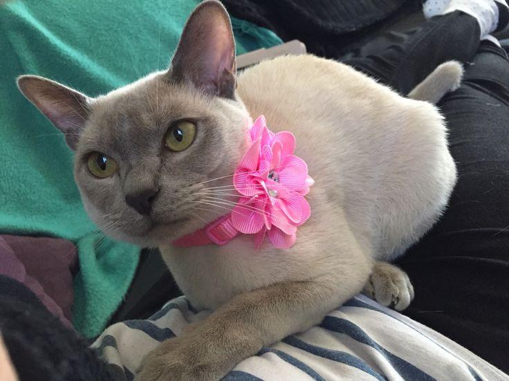 Lucinda Burmese pretty in pink