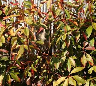 Photinia bushes with doggy
