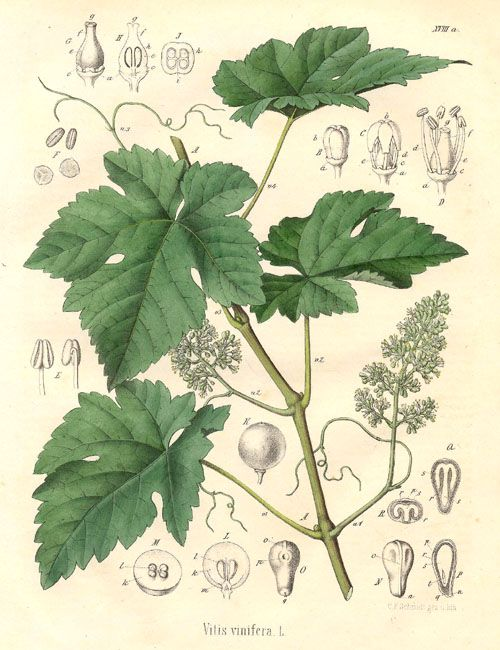 1352 Best Grape Growing Images On Pinterest Grape Vines Vines And