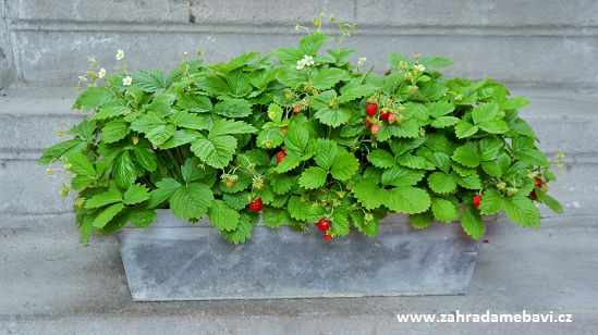 Wild strawberries in a pot