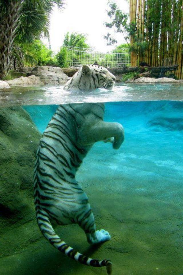 un felino que le gusta el agua....