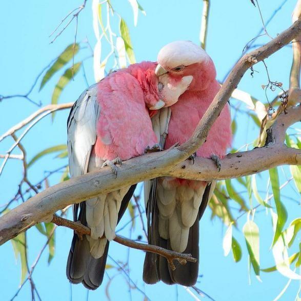 Они настоящие! В Австралии правда таких можно увидеть в реальной жизни #wildlife_beyondjet  Карта со грандиозной коллекцией достопримечательностей Австралии у нас на сайте. Cсылка в профиле  @beyondjet http://www.beyondjet.com/  Photo by @birdman.sam  #птицы #сидней #птицы #полет #австралия #beyondjet #турывавстралию #australia #сидней #мальдивы #песок #калифорния #стильжизни #планета #розовый#новаязеландия #красивыеместа #кругосветка #орелирешка #сафари #дюны #мототрип #отдыхвдвоем…