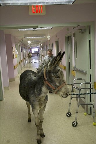 Henry the donkey waits in the hall at Lakeside Nursing Center for his turn to visit with residents there (© Courtesy of Young's Funny Farm)