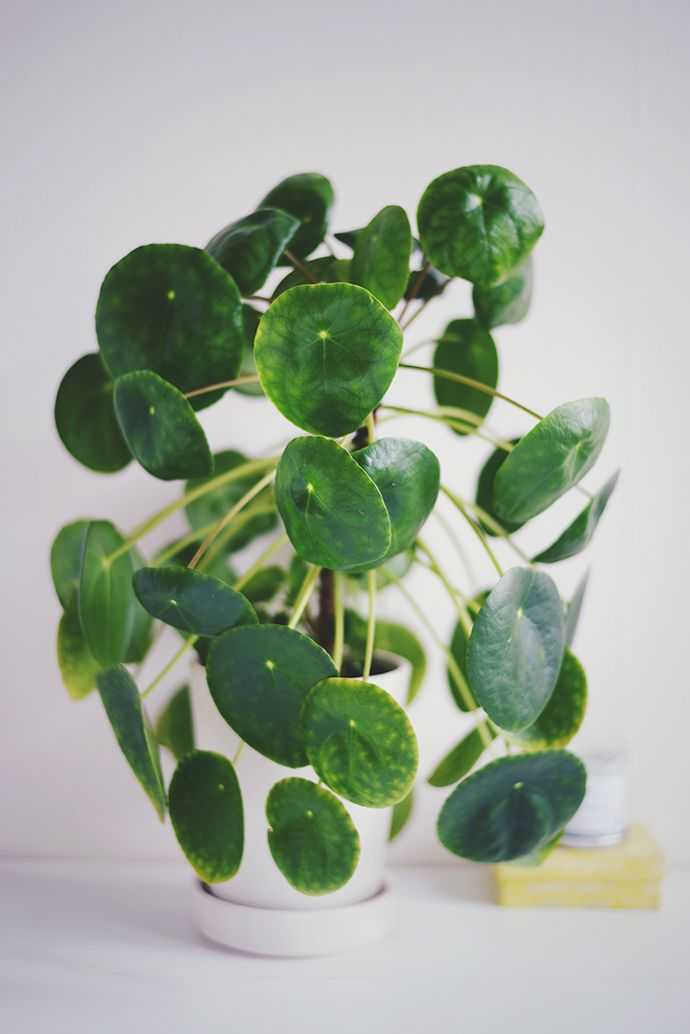 1000 Ideas About Chinese Money Plant On Pinterest Money