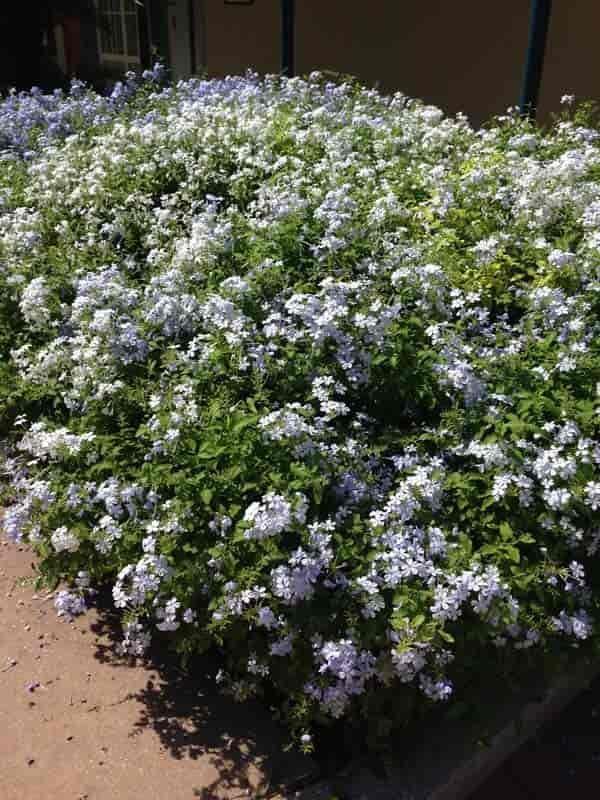 Plumbago Plant How To Grow The Blue Plumbago Garden