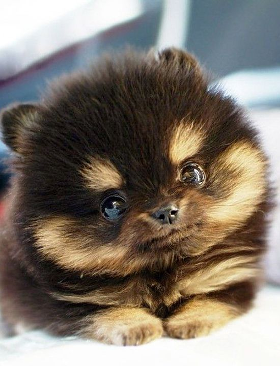 ... Teacup Dog Breeds, Cutest Dogs, Teacups Dogs Breeds, Baby Animal