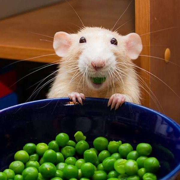 12 Photos That Will Change Your Mind About Rats