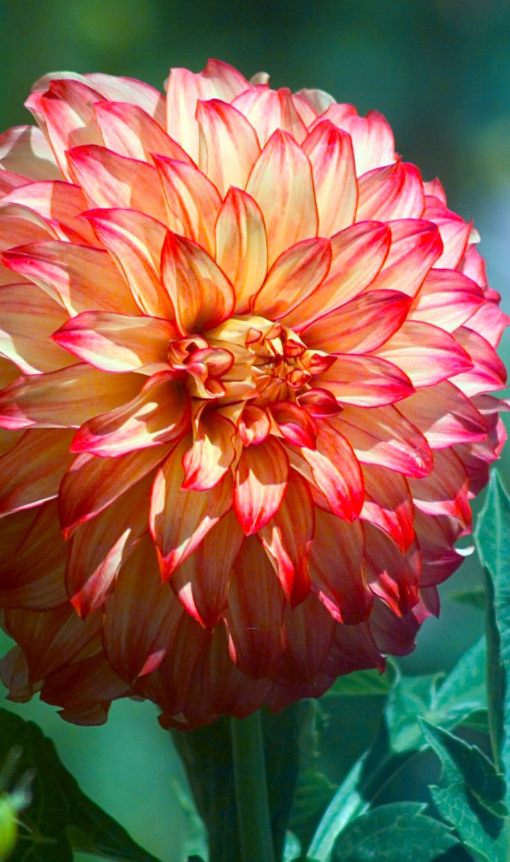 ~~Lady Darlene Dahlia | Decorative Dinnerplate Dahlia, a great ball of fire in the garden, this dahlia has rich yellow-gold petals with red tips and perfect flower form. Large blooms in magnificent color combination | SFDahlias.org~~
