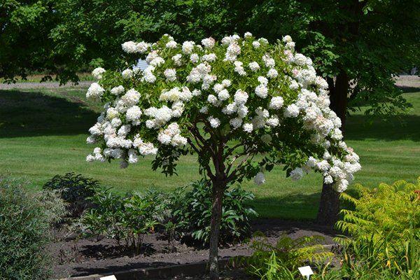 Ornamental trees part shade zone 8 peegee hydrangea for Miniature shade trees