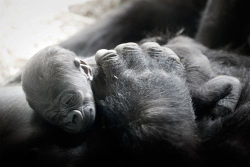 Baby Gorilla's at the NC Zoo. How cute!!!