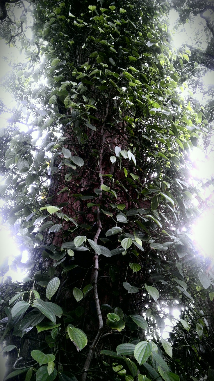 Black Pepper Tree. | fruitVEGGIES & Spicy on planet ...