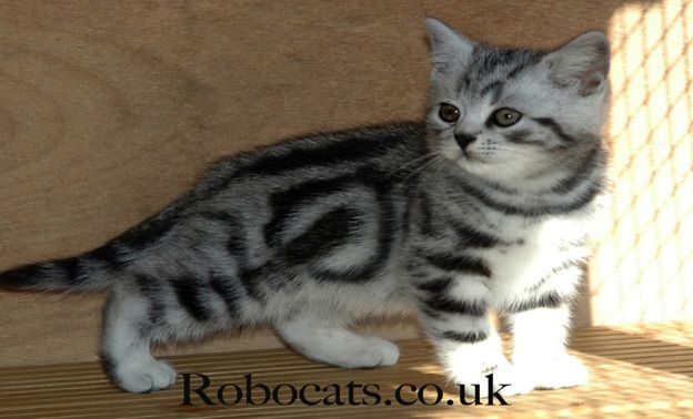 Best Silver Tabby Cats In The World Silver Tabby Kittens Robocats In 2020 Silver Tabby Cat Tabby Kitten Tabby Cat