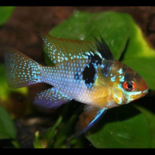 1000 images about german ram cichlid mikrogeophagus for German ram fish