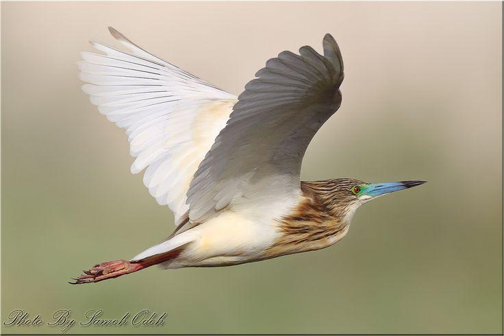 Squacco Heron (ad. Summer) -البلشون الذهبي | by Sameh Odeh