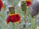 Ratibida columnifera (Mexican hat)